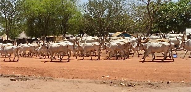 قطيع ماشية في ولاية البحيرات، جنوب السودان، يونيو 2012.