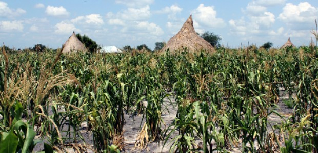 A maize field in Dablual village, Unity State, affected by drought, July 25, 2015.