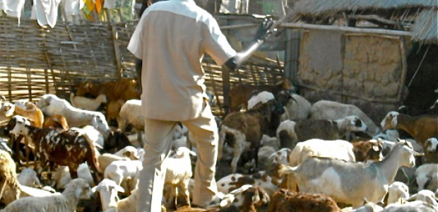 Matow Deng with his sheep, November 17, 2012.