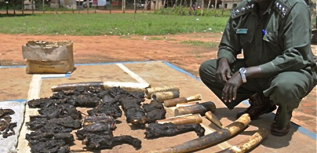 Capt. Jimmy Marle shows confiscated elephant tusks and wild meat, May 7.
