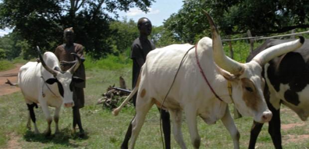 Cattle herders in Rumbek East, October 3, 2011.
