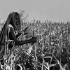 A woman harvesting sorghum in Kassala, October 1984.