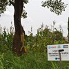 A demonstration plot in Morobo County, July 13.