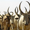 Tribal warring over cattle has erupted in many states of Southern Sudan.