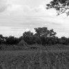 A maize field owned by the Yeyejita Farmers Group in Yei on May 11, 2016.