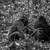 Chimpanzees in Kibale National Park.
