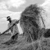 An Ethiopian farmer threshes his harvest, November 25, 2016.