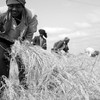 Ethiopian farmers harvest teff. (photo: Esayas Ayele)