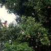 A young boy risking life and limb looking for mangoes