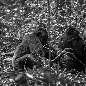 Chimpanzees in Kibale National Park. (photo: The Niles | Mugume Davis)