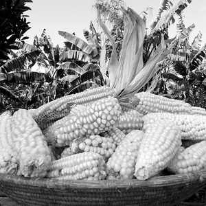 Maize is a key staple crop across the Nile Basin due to its variety, plentitude and easy cultivation. (photo: The Niles | Davis Mugume)