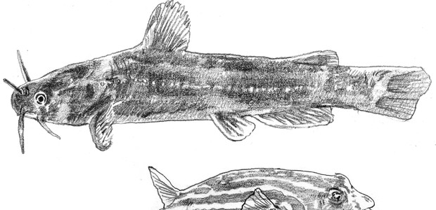 Some of the most common fish in the Nile: 1. Bayad (Bagrus bajad); 2. Fahaka pufferfish (Tetraodon lineatus); 3. Electric catfish (Malapterurus electricus). (photo: The Niles | Illustrations by Mayu Nakai)